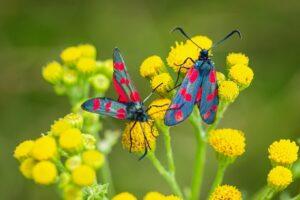 Motyl - Kraśnik sześcioplamek