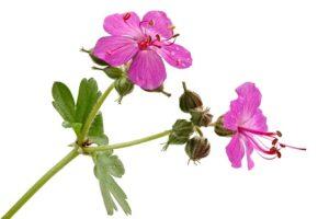 Bodziszek korzeniasty (Geraniummacrorrhizum) roślinny odstraszacz kotów, komarów i ślimaków