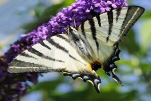 Motyl - Paź żeglarz