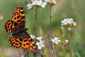 Motyl - Rusałka kratkowiec
