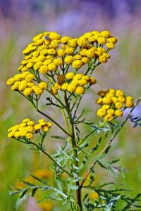 Wrotycz pospolity (Tanacetumvulgare) jako roślinny odstraszacz zniechęca do przebywania obok małe ssaki oraz mrówki, muchy, komaryikleszcze.