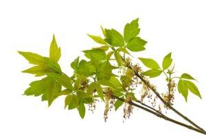 Inwazyjne rośliny - Klon jesionolistny
