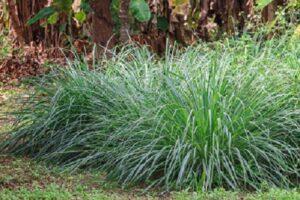 Rośliny odstraszające komary - Palczatka cytrynowa (Cymbopogon citratus)