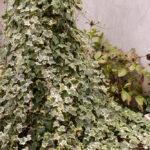 obelisk roślinny bluszcz