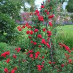 obelisk roślinny róże