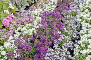 Siejemy kwiaty w kwietniu - zwarty kobierzec z różnych odmian smagliczki nadmorskiej