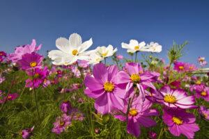 Siejemy kwiaty w kwietniu - kosmos podwójnie pierzasty