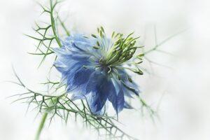Siejemy kwiaty w kwietniu - czarnuszka damasceńska
