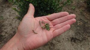 Gąsienice ćmy bukszpanowej