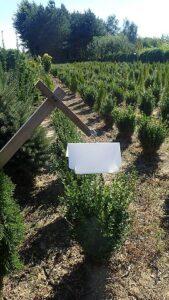 Pułapka feromonowa w szkółce roślin na ćmę bukszpanową