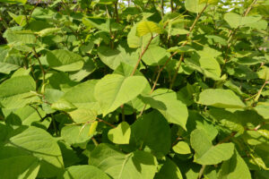 Inwazyjne rośliny - Rdestowiec ostrokończysty
