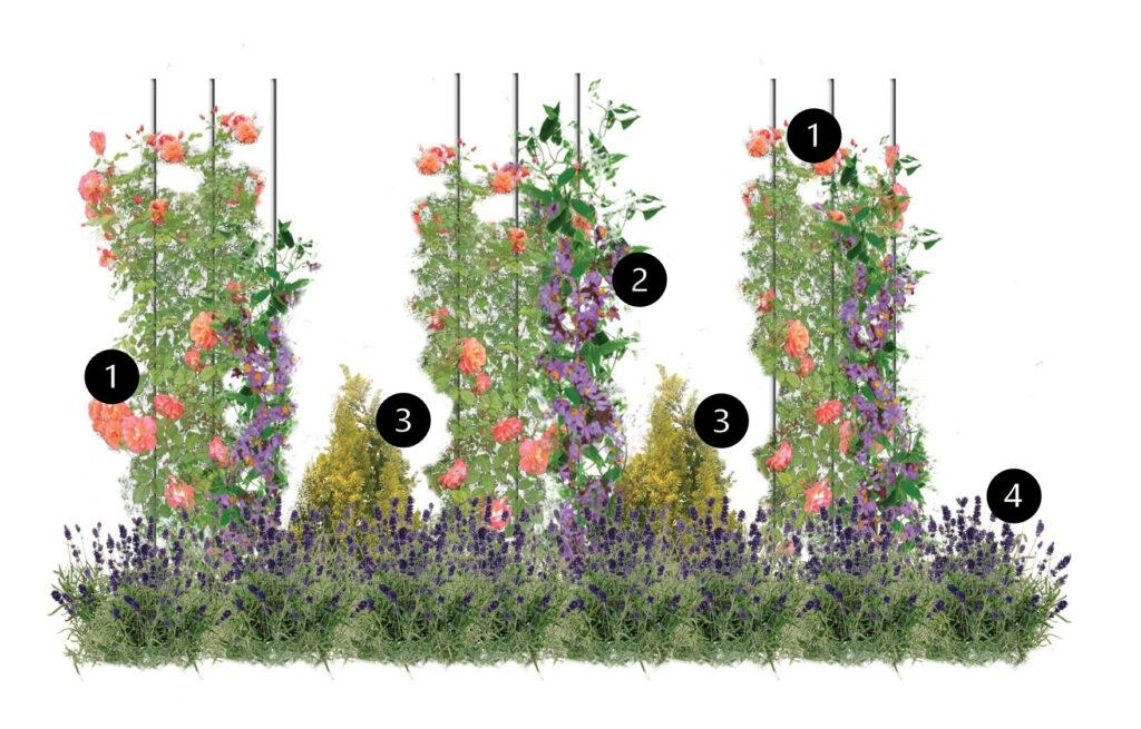 Roślinne obeliski - rosliny pachnace i kwitnace projekt