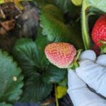 oparzenia słoneczne na owocu truskawki