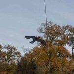 jak chronić owoce przed ptakami - latawiec ScaryBird