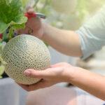 Ciężki melon - warzywa pnące