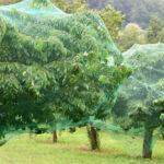 Czereśniowy sad, w którym każde drzewo zabezpieczono przed ptakami