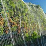 Zabezpieczenie siatką dojrzewających gron winorośli