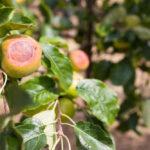 Oparzenia słoneczne na jabłkach
