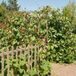 Bramka z fasoli - pnące warzywa