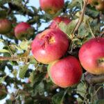 Jabłka uszkodzone przez gradobicie